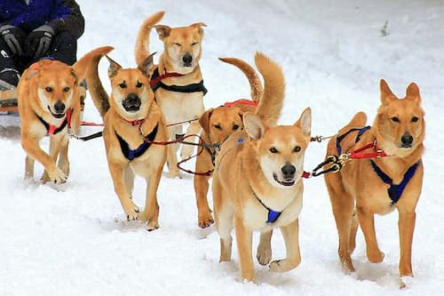 Chinook dogs