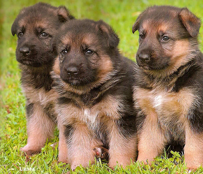 GS puppies