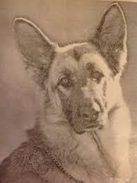 German Shepherd sepia head shot