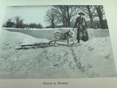 Polaris in harness with Mrs. Baynes
