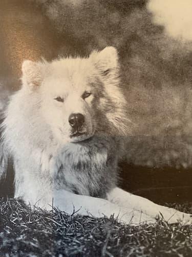 Greenland Eskimo dog