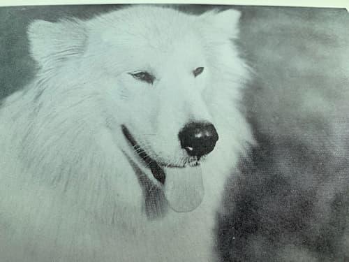 Polaris was a beautiful white dog