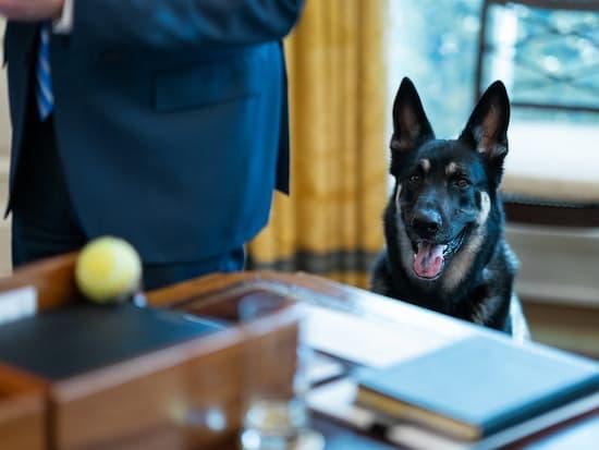 Major, the younger Biden dog, hoping for a tennis ball