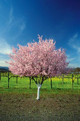 pink apple tree