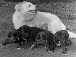 pushinka and pups