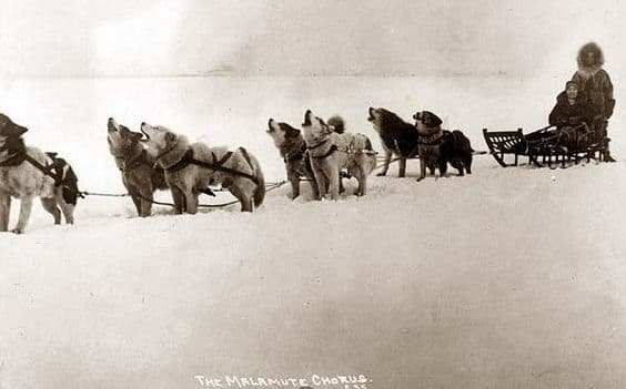 Team of malamutes ready to run